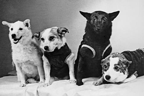 Anjing-anjing kosmonot. Dari kiri ke kanan: Strelka, Chernushka, Zvyozdochka, dan Belka, 1961. Foto: V. Zhikharenko/TASS