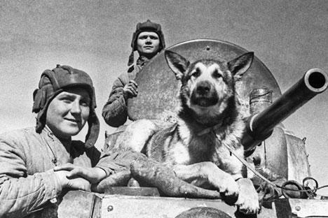 Semasa perang, anjing Soviet telah meledakkan lebih dari 300 tank Nazi Jerman, yang setara dengan dua divisi bersenjata. Foto: TASS