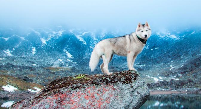 20 Alasan Mengapa Anjing Husky Sangat Menggemaskan