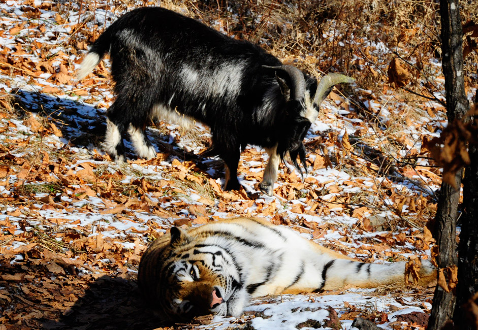 Amur, a Siberian tiger, and Timur, a goat, in Safari Park in the village of Shkotovo.