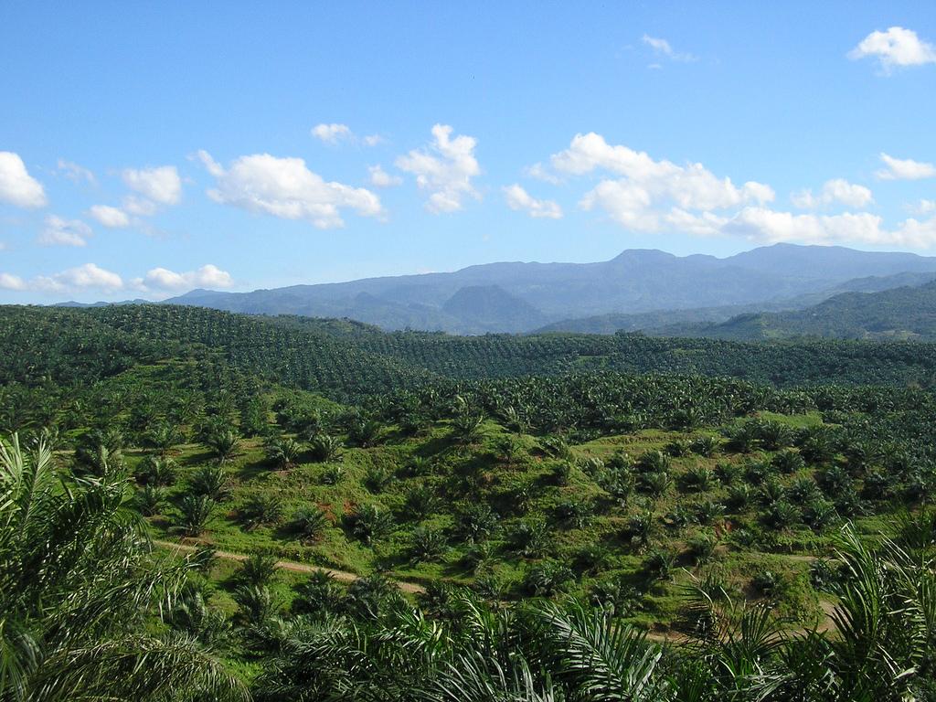 Kebun kelapa sawit di Bogor, Indonesia.