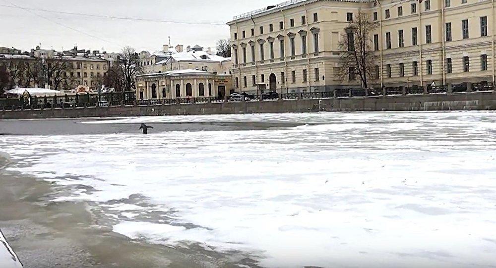 Burung yang tak bisa terbang ini ditemukan oleh warga setempat di Sankt Peterburg saat ia tengah berjalan susah payah menyeberangi Sungai Fontanka.