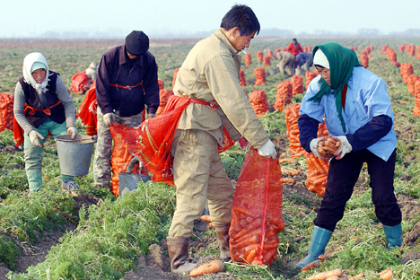 """""""Migration processes are permanent, and we should not be afraid of them,"""" said Russian Prime Minister Dmitry Medvedev. """"On the contrary, we should learn how to manage them effectively."""" Pictured: Chinese migrants taking the harvest in Russia's Far Ea"""