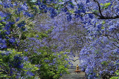 The flowering of the Jacaranda. Source: Dallas Kilponen