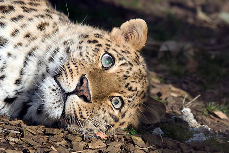 Amur leopard adoption launched. Source: Robert Taylor