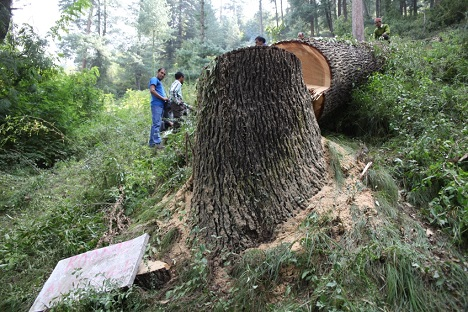 The centuries-old deodar tree that was chopped down in the Roerich Naggar estate. Source: Alexander Tomas