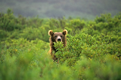 In Kamchatka this year, authorities have recorded a large number of anomalous bears that have not gone into winter hibernation. Source: Geo photo