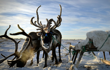 To survive in tundra, you have to earn to distinguish between reindeer. Source: Ramil Sitdikov / Rian