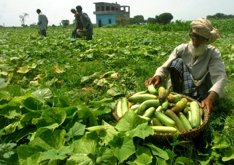 Indian cucumbers will witness an increased demand in Russia. Source: AP