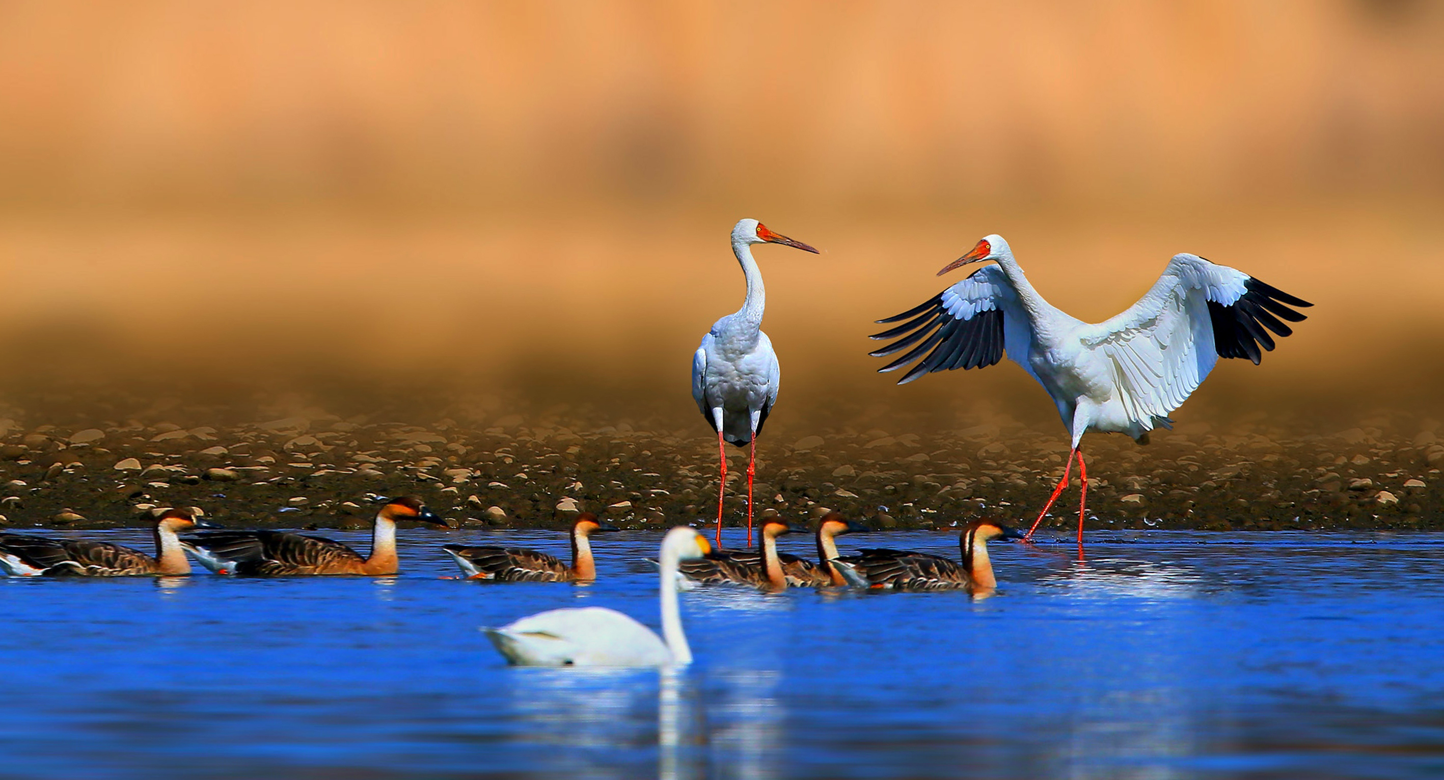 The majestic Siberian cranes fly south every winter. Source: Shutterstock