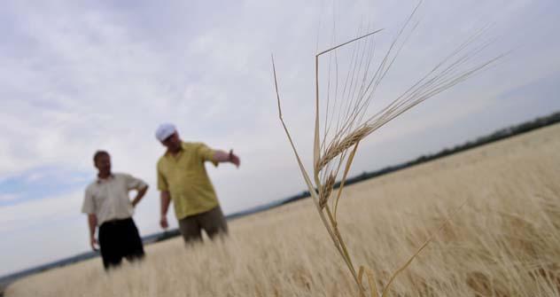 Si stima che nel 2012 gli agricoltori russi raccoglieranno solo 80-85 milioni di tonnellate di grano (Foto: Ria Novosti)
