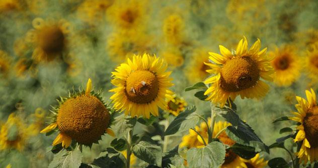 Il raccolto di semi di girasole in Russia aumenta, e gli oleifici della Federazione hanno toccato il record di produzione di oli vegetali (Foto: Ria Novosti)