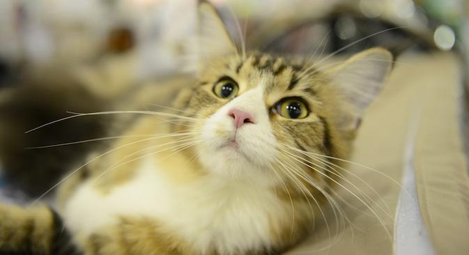 I gatti hanno ottenuto lo status di guardiani del museo dai tempi di Caterina II (Foto: Kommersant)