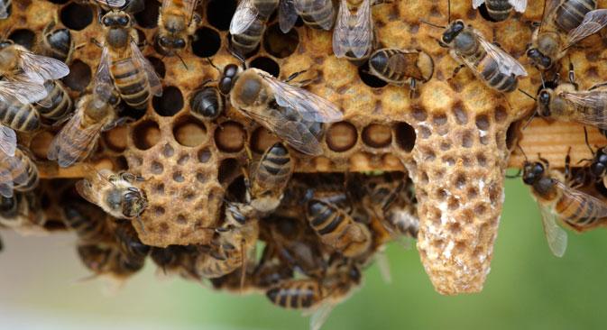 Gli scienziati stanno studiando varie specie di api, in particolare quelle della Russia centrale (Foto: Alamy/Legion Media)