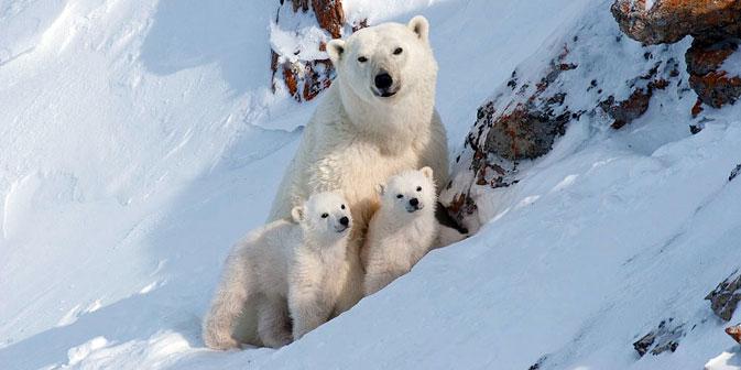 Una famigliola di orsi polari (Foto: Bezrukov & Bashnaeva)
