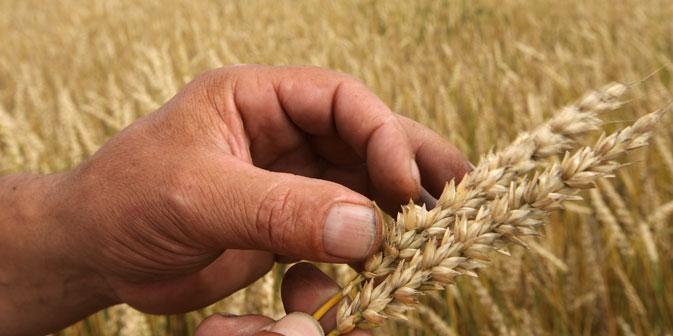 Secondo alcuni esperti, qualora il dazio sui cereali venisse abolito, i commercianti potrebbero guadagnare fino a 20 dollari per ciascuna tonnellata di grano (Foto: Ria Novosti)