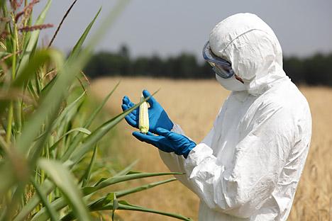Le varietà modificate di soia e mais occupano in Russia una superficie di quattrocentomila ettari (Foto: Shutterstock)