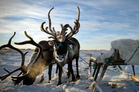 Durante l'inverno le temperature nella Tundra possono raggiungere anche i cinquanta gradi sotto zero (Foto: Ramil Sitdikov / Ria Novosti)