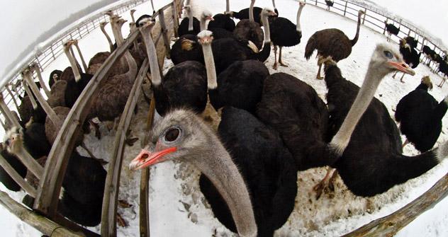 最初の15羽のダチョウが、ムルマンスク州モロチヌイ村に近い小さな畜産農場に来たのは、2007年のことだ。ここから、アンドロナクさん夫婦の家業が始まった。=イワン・ルドネフ撮影/ロシア通信