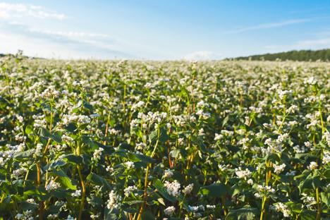 ロシアの沿海地方、そばの畑 =Shutterstock撮影