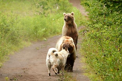 沿海州でこの2週間に3度、人間の集落にクマが出没したというのは異常な現象だ =Alamy/Legion Media撮影