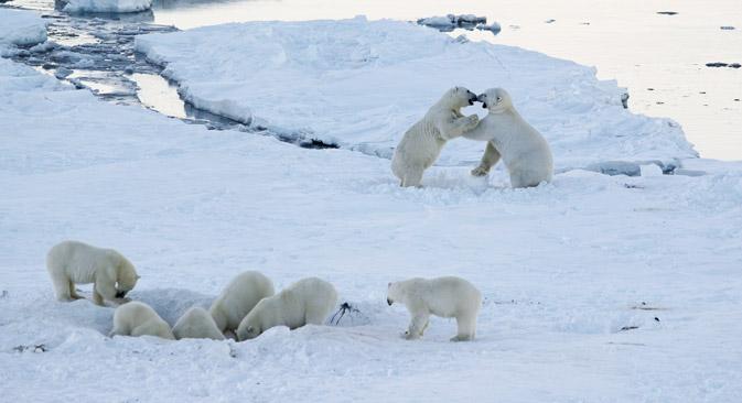 チュクチ自治管区のルィルカイピイ村周辺に、40頭以上の白クマが集まり、村民を困らせている=ミハイル・デミノフ撮影 / WWF