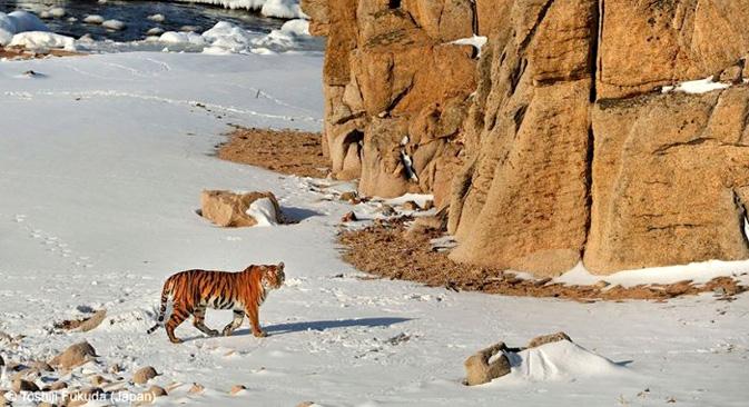 アムールトラ=福田俊司撮影、写真提供:世界自然基金(WWF)、アムール支部。