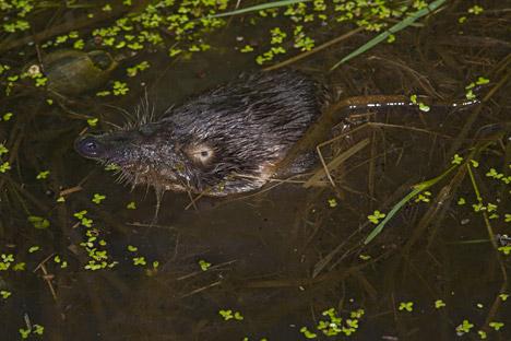 ヴィーフホリ(ロシアデスマン)は、マンモスよりやや早く地球上に出現したが、現在は、絶滅の危機に瀕している。=写真提供:Minden Pictures / Fotodom