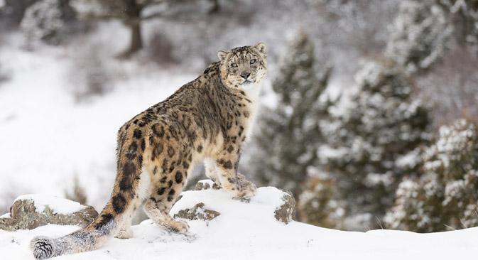 サヤノ・シュシェンスキー自然保護区でゆきひょう=Shutterstock撮影