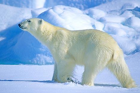Во Русија денес постојат три популации бели мечки, кои условно можат да се наречат: карска, лаптевска и чукотска. Извор: Alamy / Legion Media.