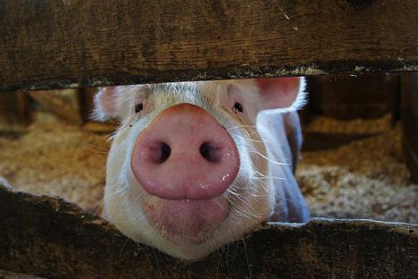 Сите животни од САД чие месо се извезува во Русија, одгледани се со рактопамин. На фотографијата: свиња од американската држава Ајова. Извор: babasteve/ Flickr.