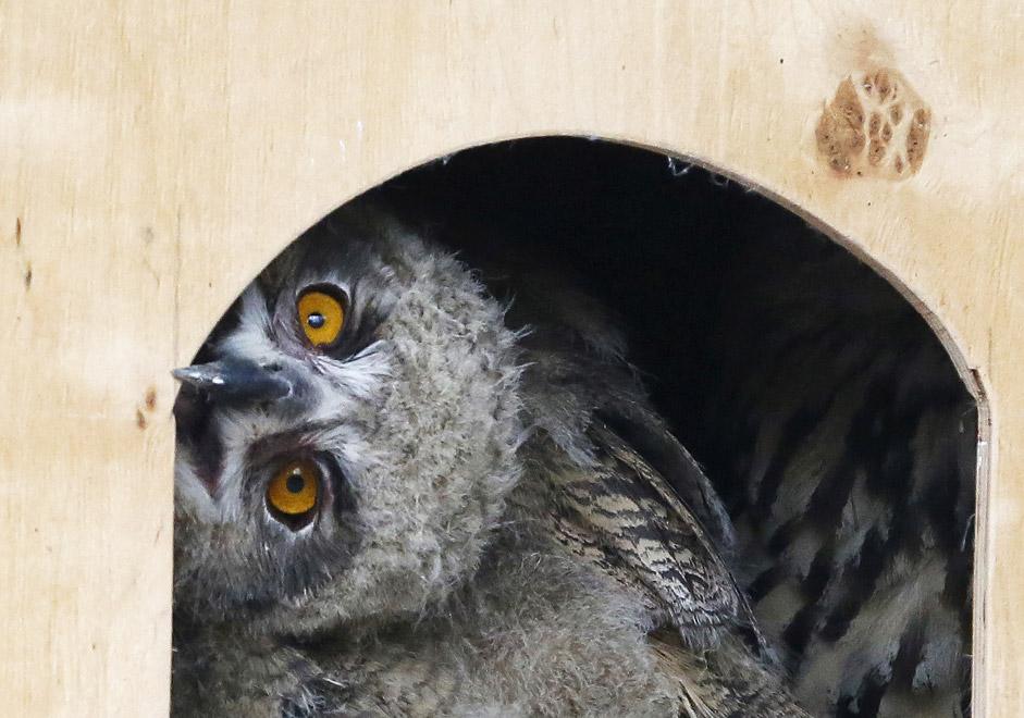 Едномесечна орлица гледа преку отворот на куќичката во отворениот кафез во зоолошката градина Роев Ручеј во сибирскиот град Краснојарск, Русија