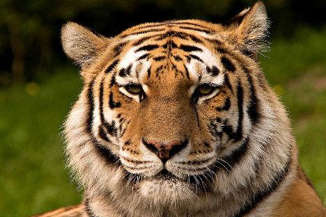 Руски еколози позивају светску заједницу да уједини напоре у спасавању амурског тигра који изумире. Фотографија: С. Тахери.