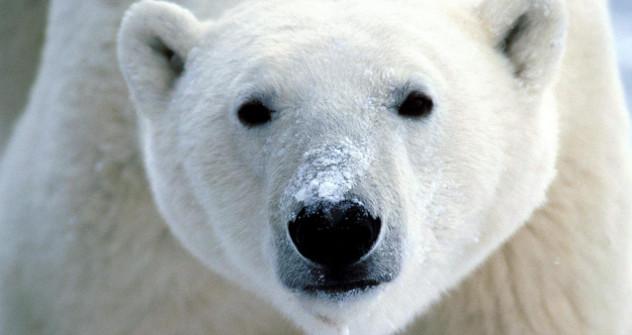 У Русији данас постоје три популације белих медведа, које се условно могу назвати карска, лаптевска, и чукотска. Извор: Alamy / Legion Media.