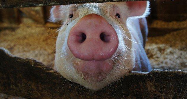 Све животиње из САД чије се месо извозило у Русију одгајене су помоћу ректопамина. На фотографији: свиња из америчке државе Ајова. Извор: babasteve/Flickr.