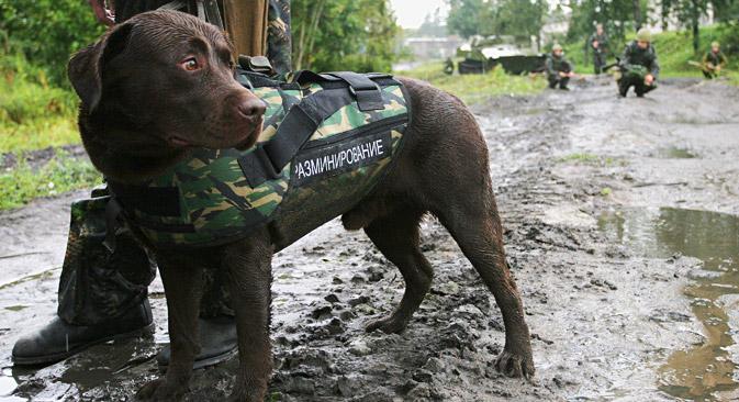 Пас-минер у панцирном заштитном прслуку током обуке у инжењерско-минском пуку Лењинградског војног округа. Извор: ИТАР-ТАСС.