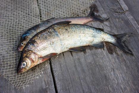 Рибник је јело од теста са руског Севера у које се риба ставља цела, са главом и перајима. Извор: Lori / Legion Media.