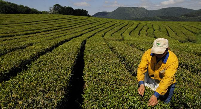 """Краснодарски чај, јединствена врста која опстаје у хладној клими Северног Кавказа, настао је пре 100 година закваљујући напорима генијалног самоуког селекционара биља, Јуде Кошмана. Извор: Михаил Мордасов / РИА """"Новости""""."""
