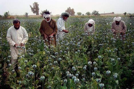 У Авганистану је 2014. посејано рекордних 250 хиљада хектара опијумског мака. Извор: AP.