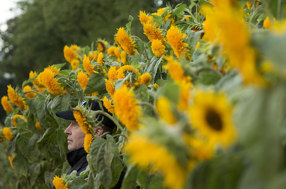 A man stands between ornamental sunflowers in Moscow StateUniversity's botanic garden in central Moscow, Russia.