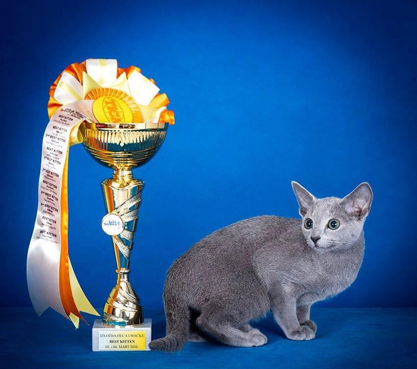 Извор:  Russicatblue – Russiblue uzgajivačnicа mačaka TICA - Felis Serbica