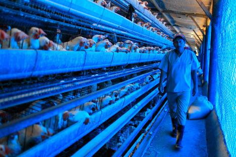 Rosselkhoznadzor melarang impor unggas hidup dan telur dari beberapa negara Uni Eropa.